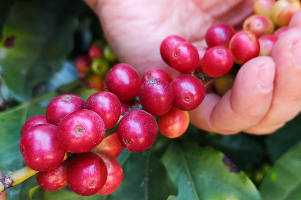 Doskonała kawa z Rwandy