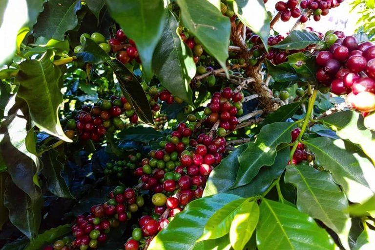 Kawa single origin a kawa blend – na czym polegają różnice?