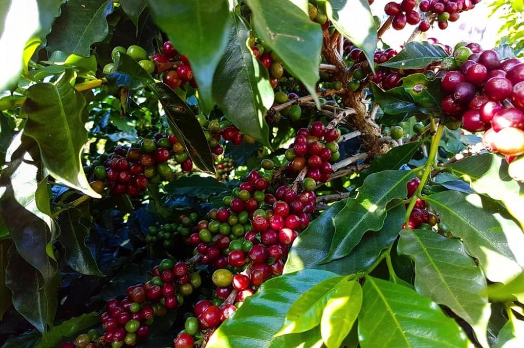 Cechy i smak kawy single origin
